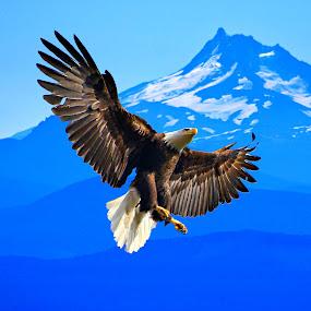 Blue eagle by Gaylord Mink - Animals Birds ( bird, flight, eable, landing, fly, blue, bald eagle,  )