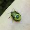 Green Stinkbug (Nymph)