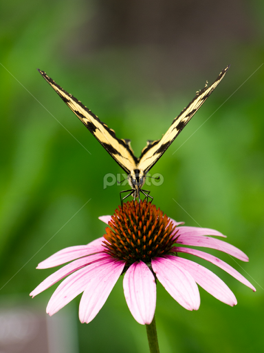 Butterfly On A Flower By Rachel Sanderoff   Flowers Single Flower ( Plant,  Butterfly,