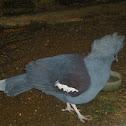 Blue Crowned pigeon