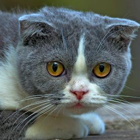 by Cacang Effendi - Animals - Cats Portraits ( cats, cattery, kitten, animals, chandra )