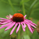 Purple coneflower (cultivar)