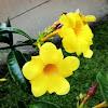 Yellow Bell, Golden Trumpet or Buttercup Flower