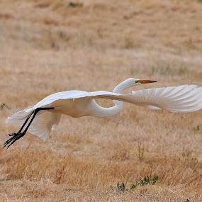 Power Glide by Ed Hanson - Animals Birds ( nature, wings, in-flight, white, egret )