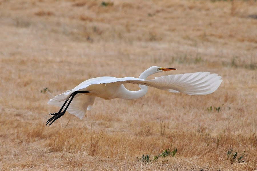 Power Glide by Ed Hanson - Animals Birds ( nature, wings, in-flight, white, egret )