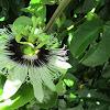 Maracuyá (Passion Flower)