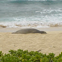 Hawaii Monk Seal
