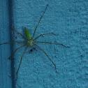 Green Lynx Spider