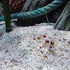 banded cleaner shrimp (eng)