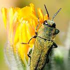 Jewel beetle, Carcoma metálica