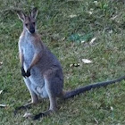 Male Wallaby