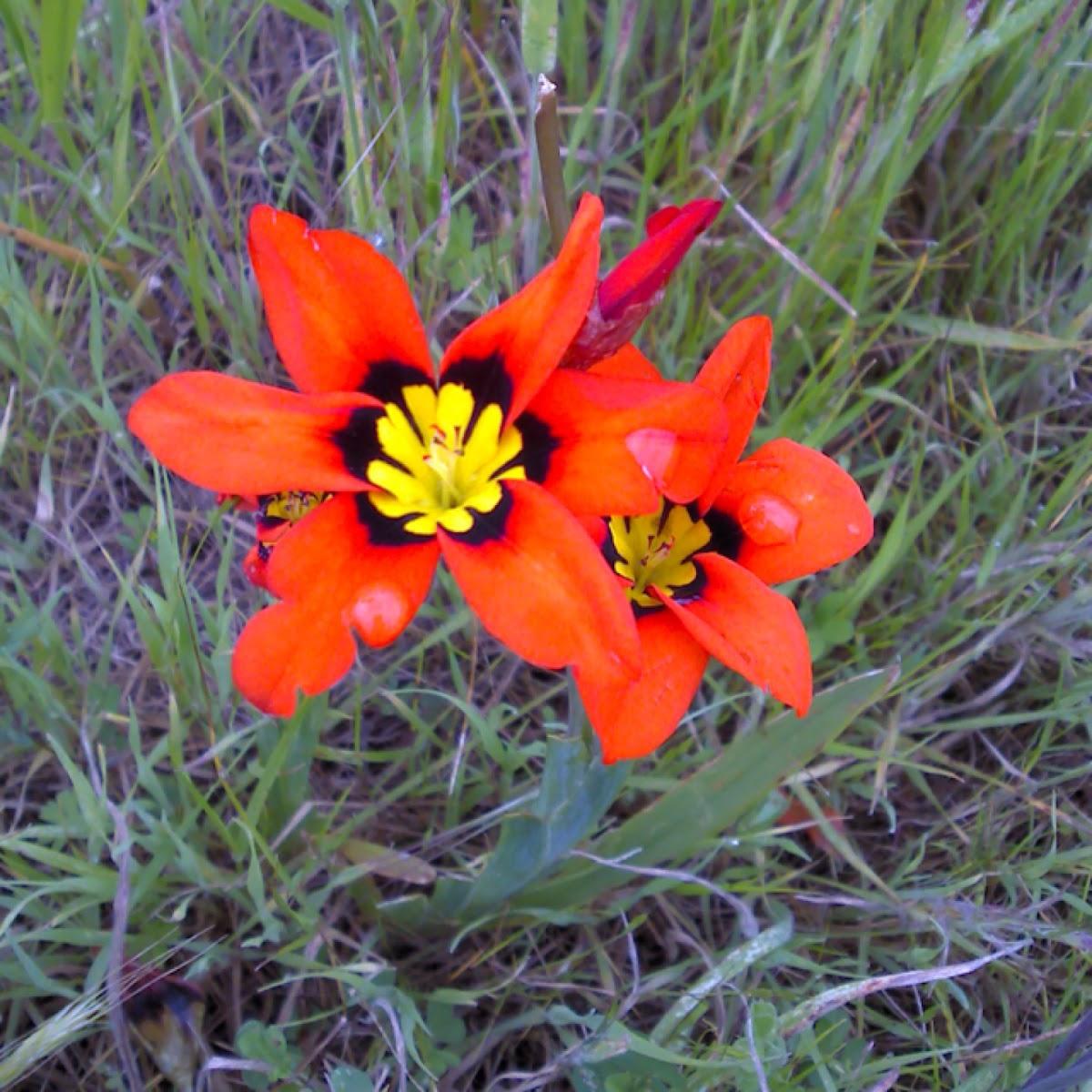 Wandflower