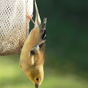 American Goldfinch (Winter feathers)