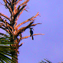 Kangkareng Perut Putih / Oriental Pied Hornbill