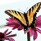 Tiger Swallowtail Butterfly (male)