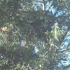 Roadrunner nest