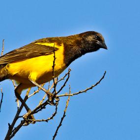 Bird Yellow by Thiago Silva - Animals Birds ( bird, blue, yellow, black,  )