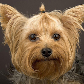 Yorkshire Terriers Wallpapers
