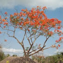 gulmohar in Sundarbans
