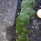 Moss/ Bryum Argenteum