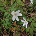 American Wood Anemone