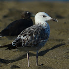 Sea Gull - Armenian Gull