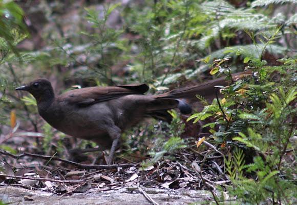 superb lyrebird female project noah