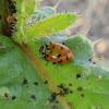 Convergent ladybugs