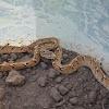 Common cat snake