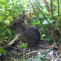 Eastern Cottontail (juvenile)