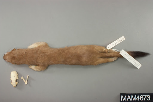 Long-tailed Weasel, MAM-4673 View of specimen, entire.