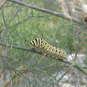 Black Swallowtail Butterfly (Larva)