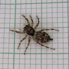 Outdoor Wall Jumping Spider