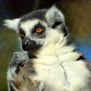 Lemur (4).jpg