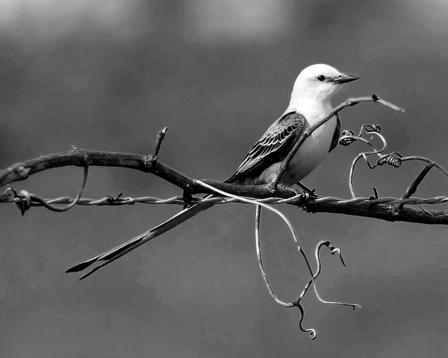 Scissortail by Hylas Kessler - Black & White Animals