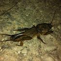 (European) Mole Cricket