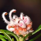 Grey Spider Flower