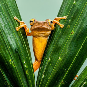 Peek a Boo by Andri Priyadi - Animals Amphibians ( animals, macro, frog, indonesia, amphibian, nikkor, frogs, nikon, amphibians, animal )