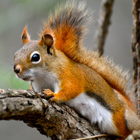 Little Red by Priscilla Capelle-Haehn - Animals Other Mammals ( red, red squirrel, branch, squirrel, mammal, animal )
