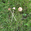 white dunce's cap (Conocybe lactea)