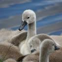 Mute swan (cygnet)