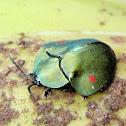 Tortoise Beetle, Tortolita tortuga