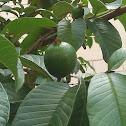 Common Guava