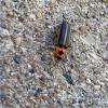 Lightning bug/Firefly