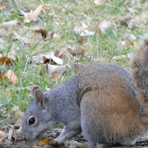 Western Gray Squirrel Project
