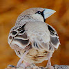 Sociable weaver bird