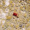 Araña velvet (ácaro). Velvet spider mite