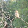 Little owl (Κουκουβάγια)