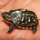 Florida Box Turtle (hatchling)
