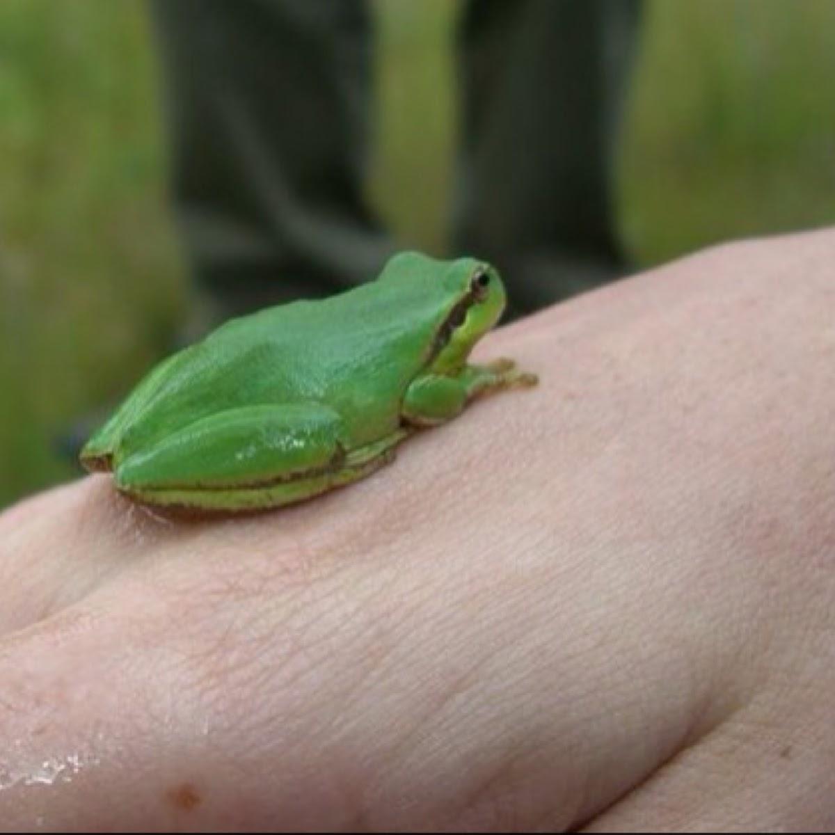 Mediterranean tree frog or stripeless tree frog